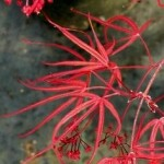 Red Spider Japanese Maple - patuxent nursery