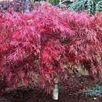Tamukeyama Japanese Maple - patuxent nursery