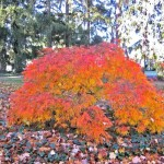 The best trees and shrubs for fall - Viridis Laceleaf Japanese Maple - patuxent nursery