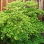 Waterfall Japanese Maple - patuxent nursery