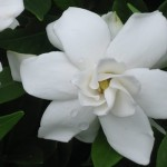 gardenia - patuxent nursery