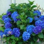 nikko blue hydrangea - patuxent nursery