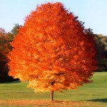 The best trees and shrubs for fall - october glory maple - patuxent nursery