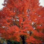 red sunset maple - patuxent nursery