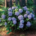 summer beauty hydrangeas - patuxent nursery