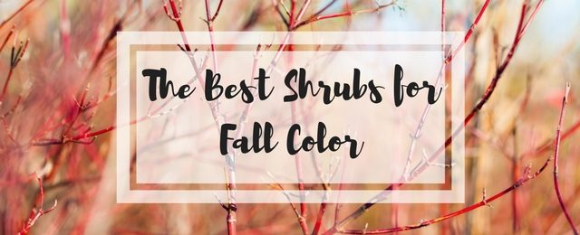 The Best Shrubs for Fall Color