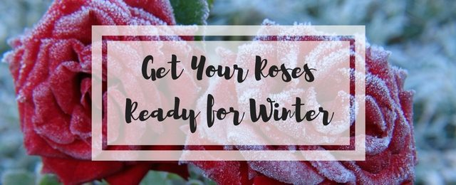 Get Your Roses Ready for Winter