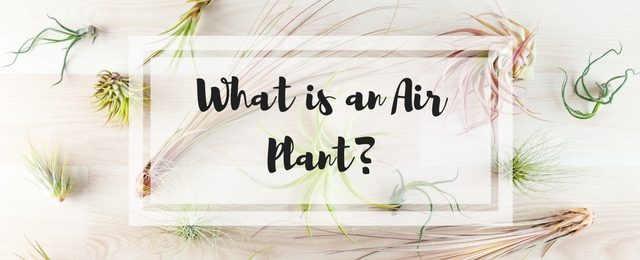 What is an Air Plant?
