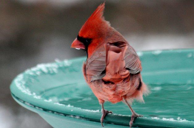 Feeding Backyard Birds in the Winter - Cardinals - Patuxent Nursery