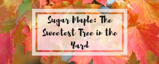 Sugar Maple, the Sweetest Tree in the Yard