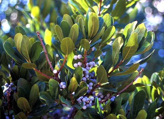 Bayberry - Best Trees and Shrubs for Birds - Patuxent Nursery