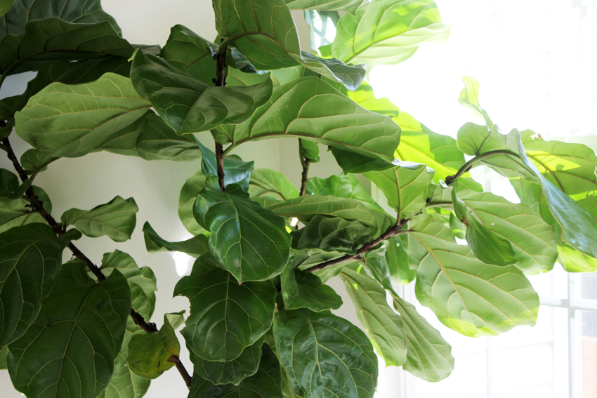 fiddle-leaf