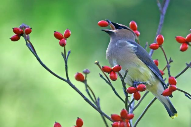 Native Dogwood - Best Trees and Shrubs for Birds - Patuxent Nursery