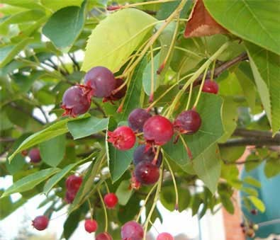 Serviceberry - Trees and Shrubs for Birds - Patuxent Nursery