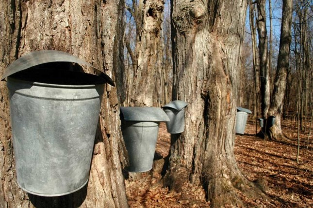 Sugar Maple - The Sweetest Tree in the Yard | Patuxent Nursery