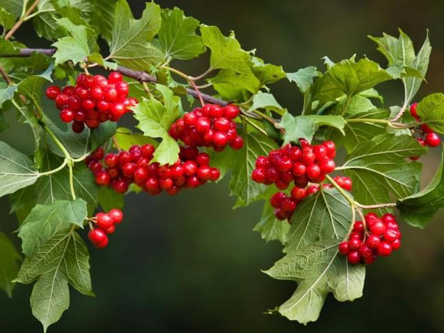 Viburnum - Best Trees and Shrubs for Birds - Patuxent Nursery