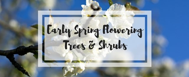 Early Spring Flowering Trees and Shrubs for Your Yard