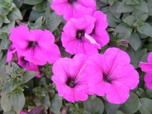 Easy-Wave-Petunia-Violet