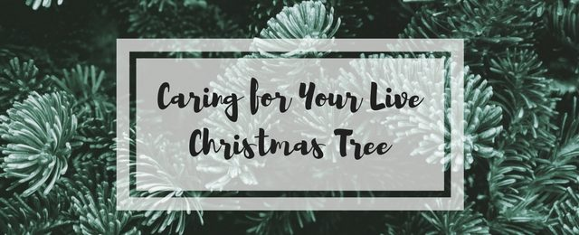 Caring for Your Live Christmas Tree