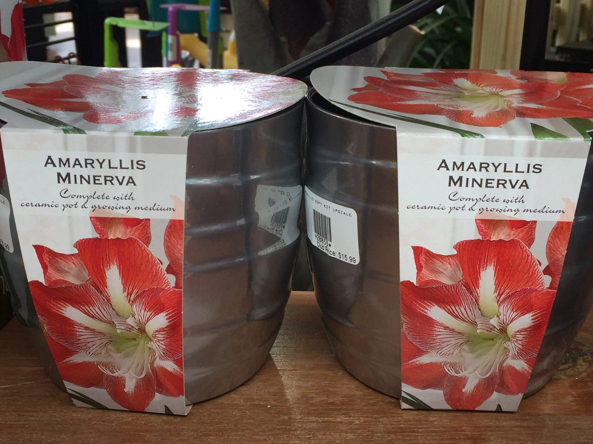 amaryllis - holiday flowers - Patuxent Nursery