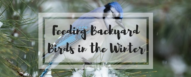 Feeding Backyard Birds in the Winter