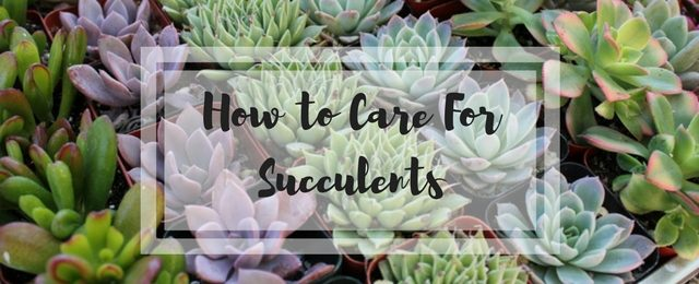 How to Care For Succulents – A Handy Guide