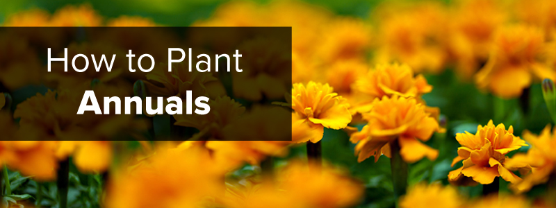 How to Plant Annuals