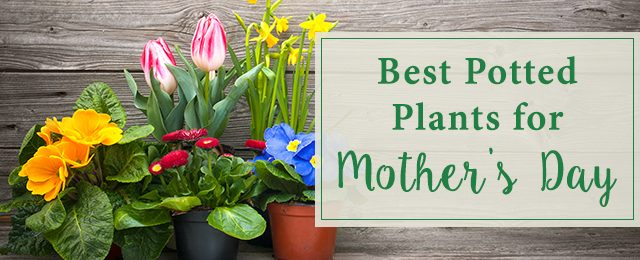 Best Potted Plants for Mother's Day
