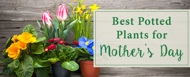 Best Potted Plants For Mother S Day
