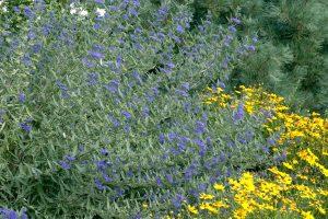 Caryopteris Blue Mist