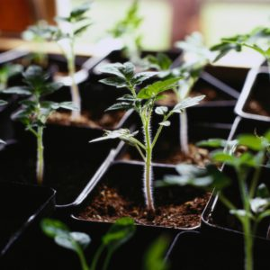 Indoor seed starting doesn't stop once you have seedlings growing.