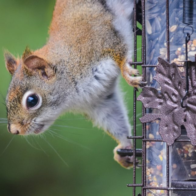 Squirrel looking to get into bird feeder