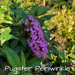 pugster periwinkle butterfly bush for sale at patuxent