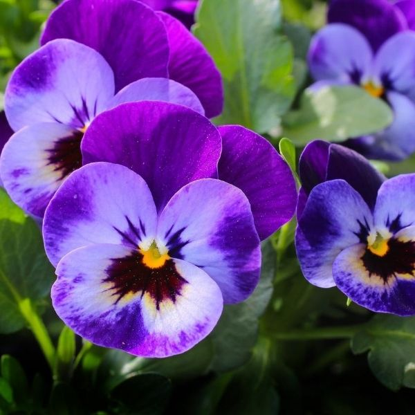 plant pansies in the fall