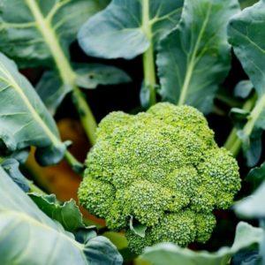 broccoli plant