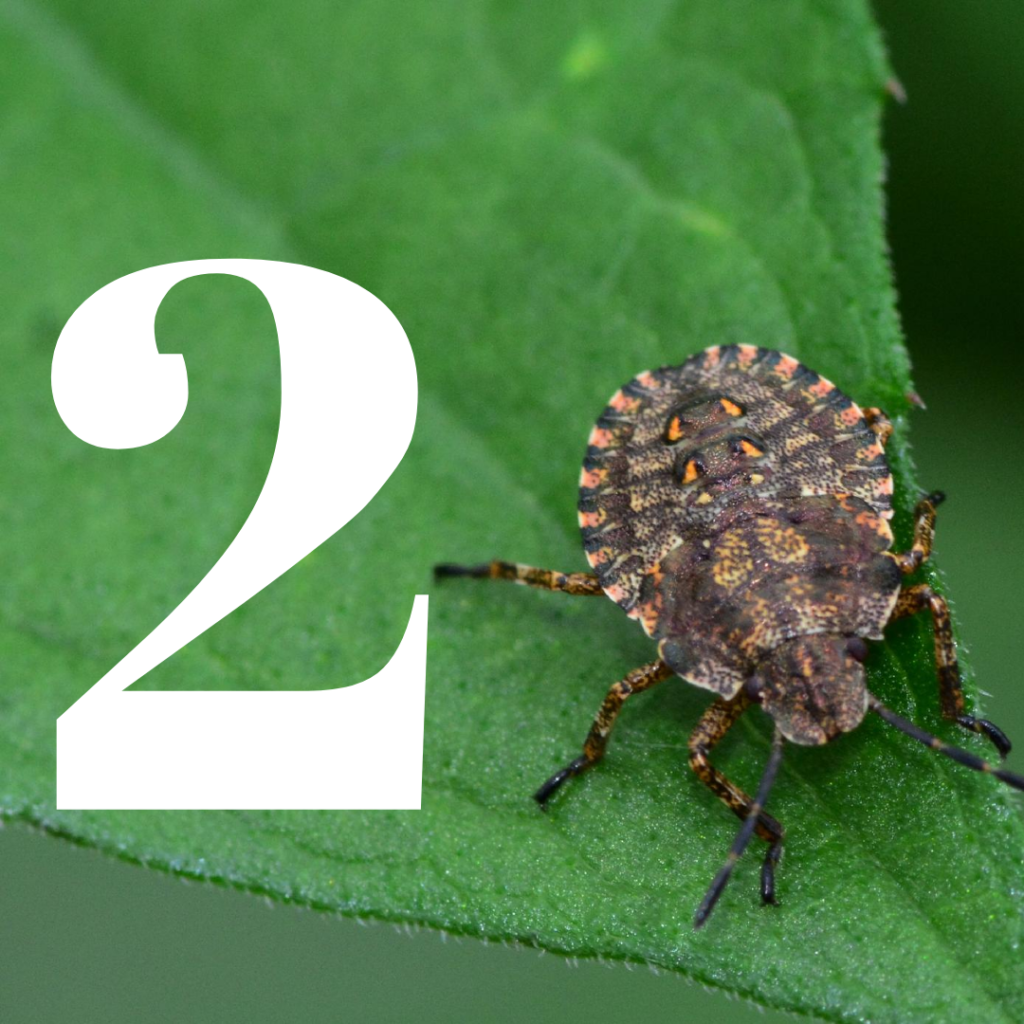 how to kill stink bugs