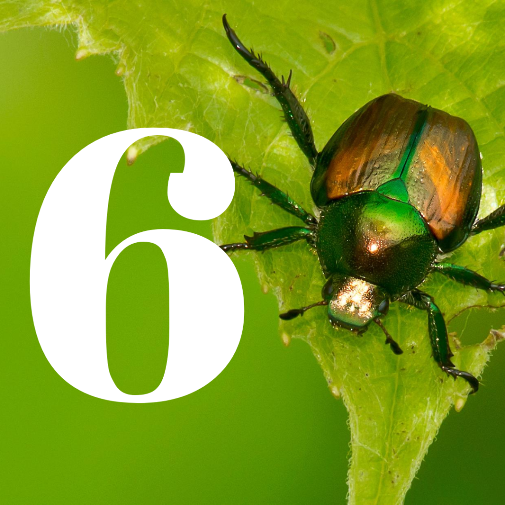 how to kill japanese beetles