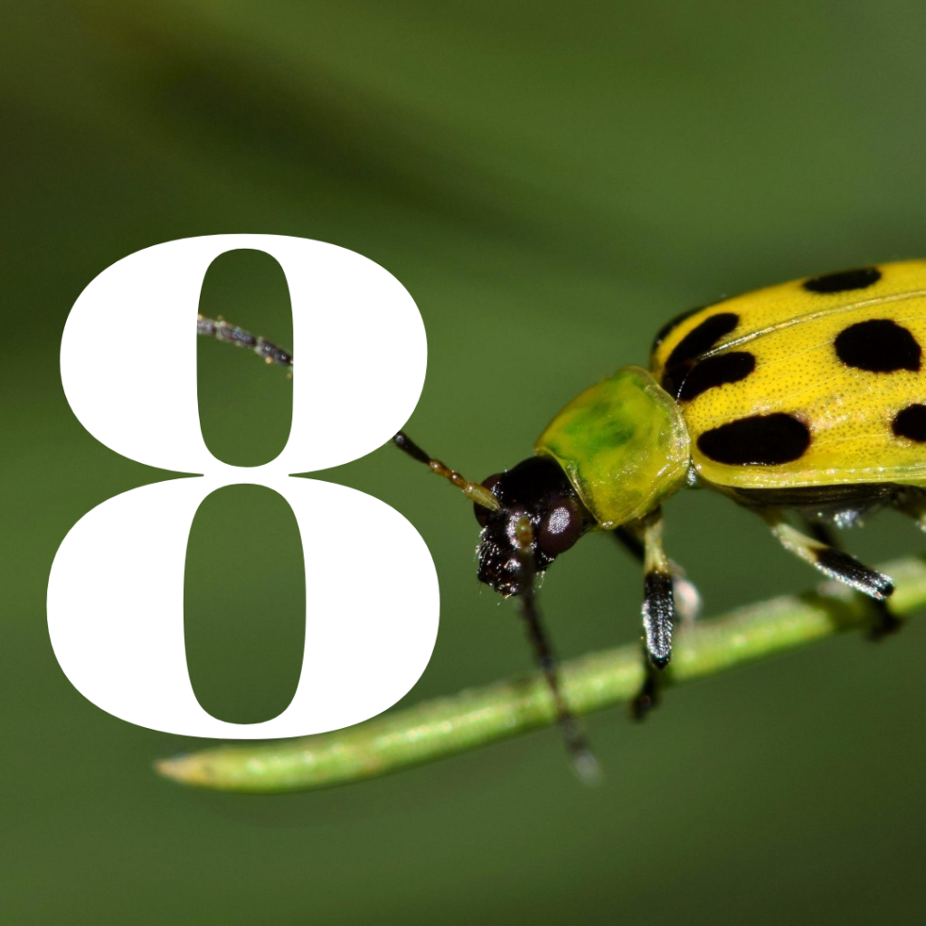 how to kill cucumber beetles