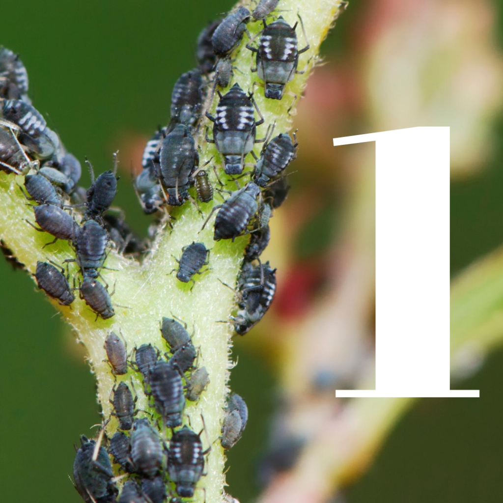 how to kills aphids