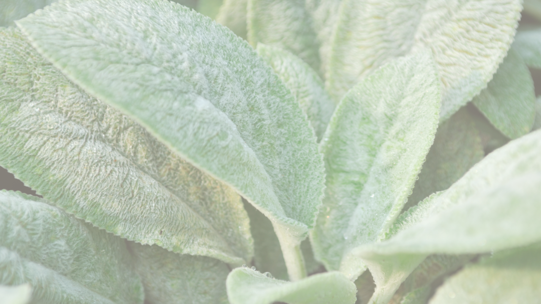 lambs ear sold at patuxent nursery