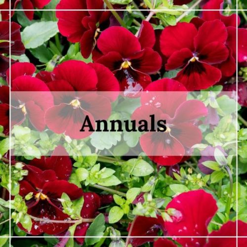 annuals at patuxent nursery maryland