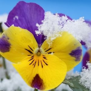 yellow and purple pansies covered in snow