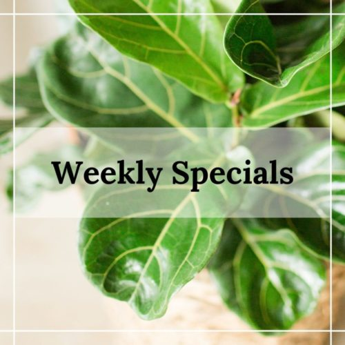 fiddle leaf fig weekly special