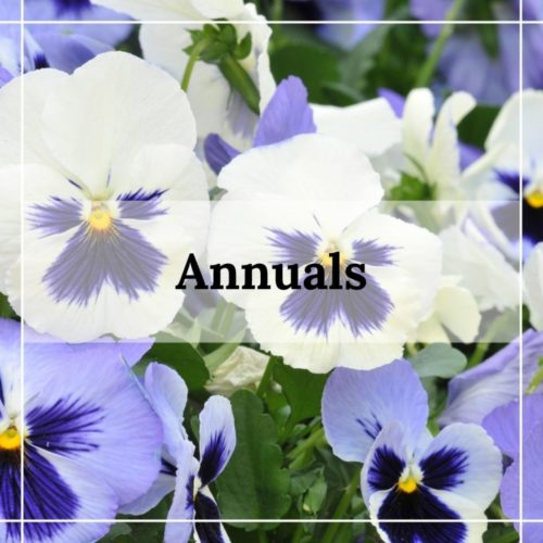white and blue annual pansies in bowie maryland
