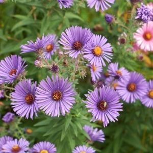 purple aster perennials
