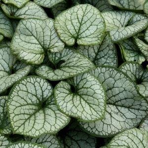 silver foliage on green brunnera