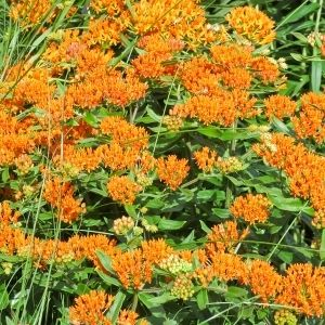 orange native butterfly weed