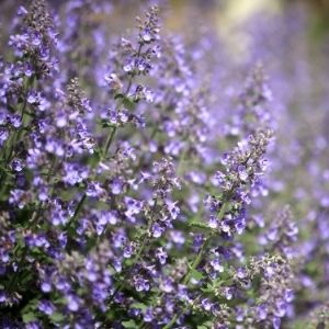 catmint purple flower clusters