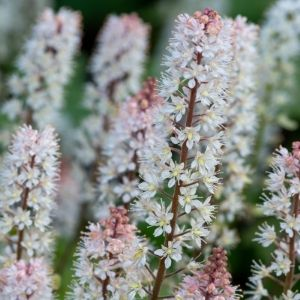 white and pink creeping foamflower perennial