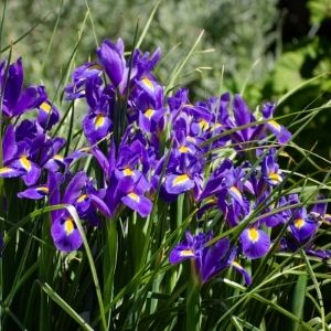 purple iris versicolor